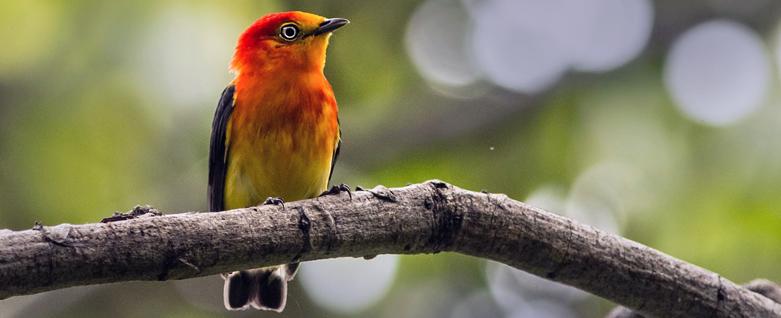 Uirapuru laranja, pássaro típico da região da floresta amazônica